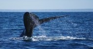 Argentina-Puerto-Madryn-Whale