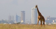Nairobi, la capital de los safaris
